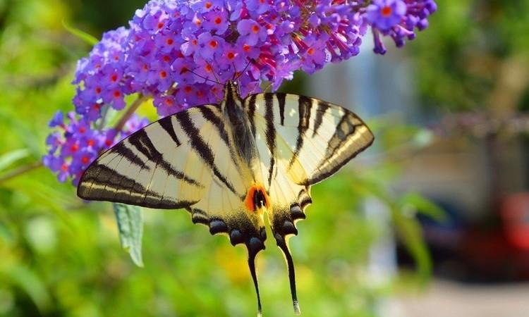 В Днепре появилась уникальная бабочка Парусник Подалирий
